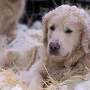 Dogs, Portrait of blond golden retriever.