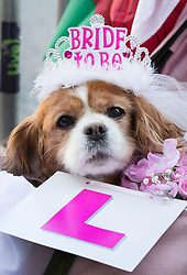 © Licensed to London News Pictures. 17/05/2018. Windsor, UK. Camilla the King Charles Spaniel wears a 'Bride to Be' tiara as she waits with her owner outside Windsor Castle two days ahead of the wedding of Prince Harry and Meghan Markle. Later, a full military procession rehearsal will take place through the streets of Windsor. Photo credit: Peter Macdiarmid/LNP