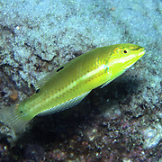Blackear Wrasse inhabit sea grass beds and shallow reefs in Tropical West Atlantic; picture taken Grand Cayman.