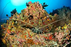 Panulirus versicolor, Vielbarbige Languste, Painted Spiny Lobster,  Malediven, Indischer Ozean, Baa Atoll, Maldives, Indian Ocean