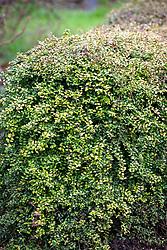 Lonicera ligustrina var. yunnanensis 'Baggesen's Gold' syn. Lonicera nitida 'Baggesen's Gold' - Golden Honeysuckle -grown as hedge.