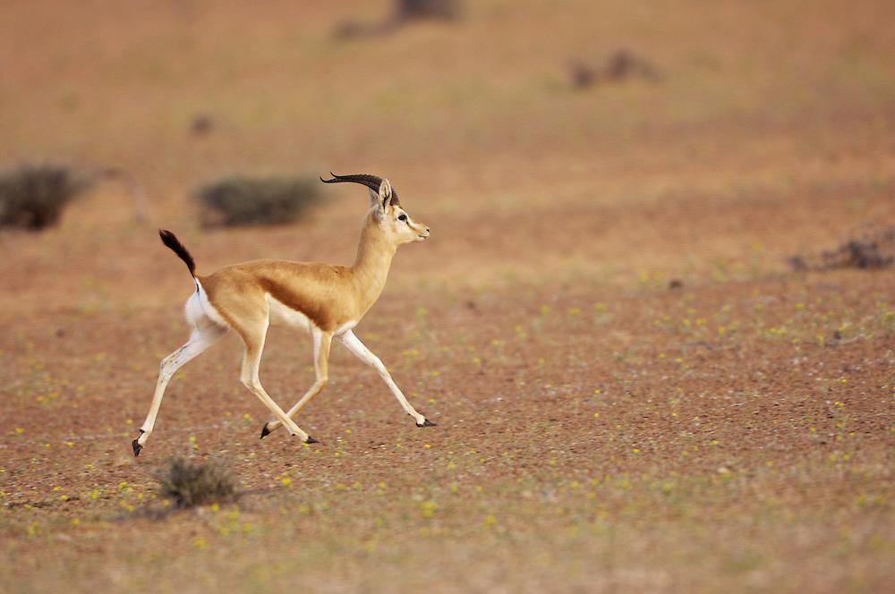 Dorcas gazelle (Gazella dorcas), Dubai desert conservation area, Dubai, UAR.