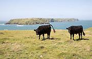 Coastal scenery Marloes peninsula Pembrokeshire Wales