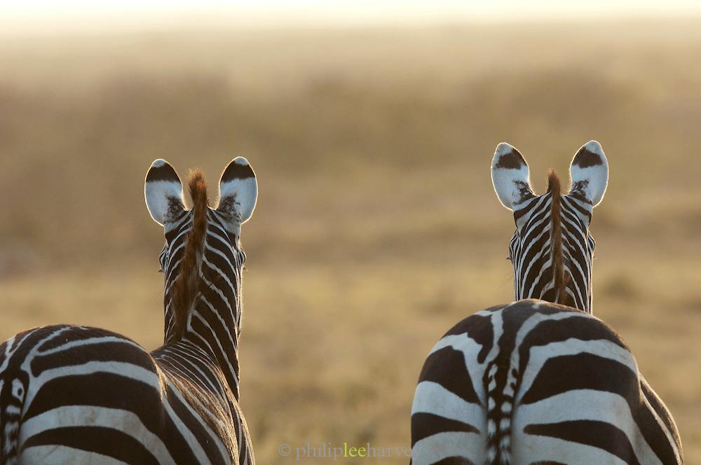 Zebras, Amboseli National Park, Kenya