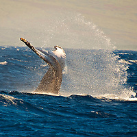 Humpback Whale, Megaptera novaeangliae, Maui Hawaii