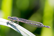 Damselfly, Zygoptera, pollinator insect resting on a leaf
