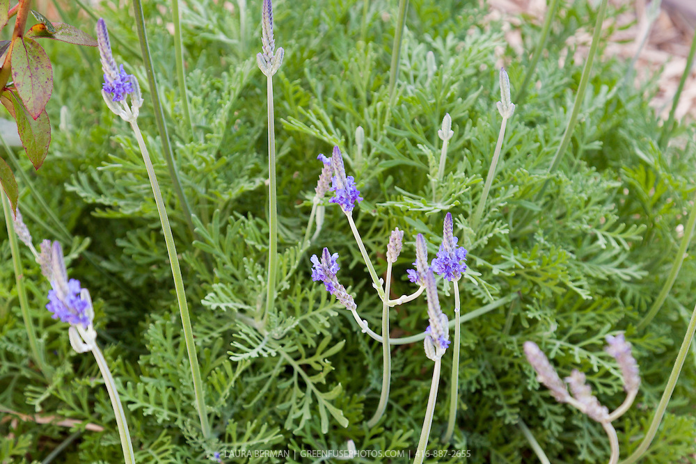 Jagged Lavender (Lavandula pinnata var. buchii)