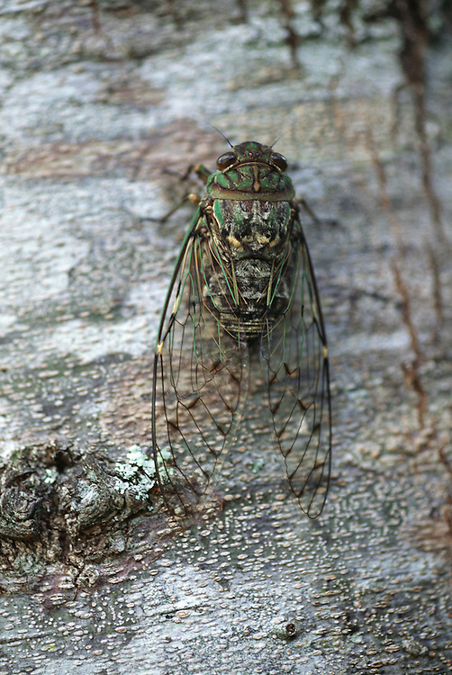A cicada on a tree just before it was caught by a young child from Soroba village in the central highlands of Irian Jaya, Indonesia. Cicadas are roasted and eaten. Image from the book project Man Eating Bugs: The Art and Science of Eating Insects.