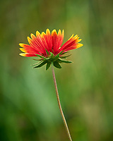 Blanket flower. Image taken with a Leica SL2 camera and Sigma 100-400 mm lens