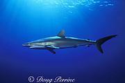 silky shark, Carcharhinus falciformis, Tongue of the Ocean, off New Providence, Bahamas ( Atlantic Ocean )