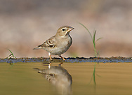 Pale Rock Sparrow - Carpospiza brachydactyla