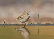 Pale Rock Sparrow - Carpospiza brachydactyla