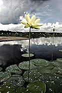 Nelumbonaceae (Lotus Family)
