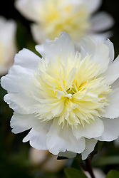 Paeonia lactiflora 'Charles' White'  syn. P.l. 'Charlie White'