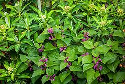 Lamium orvala 'Silva' with Euphorbia × pasteurii