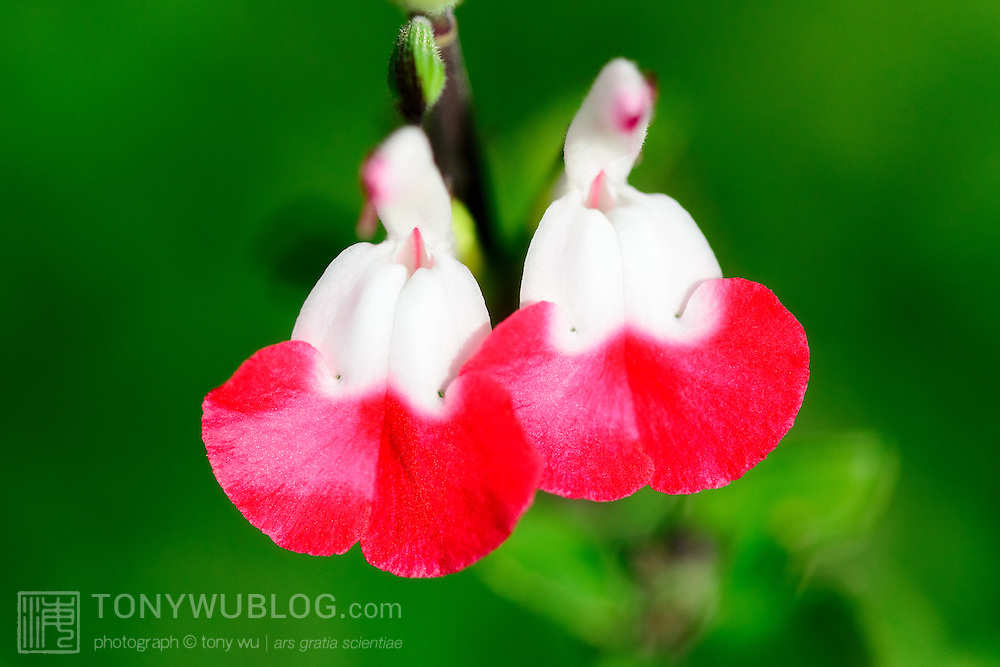 Red and white flowers of a baby sage (Salvia microphylla), a perennial shrub native to the mountains of Mexico and southeastern Arizona, that I found growing in Kanagawa prefecture, Japan.