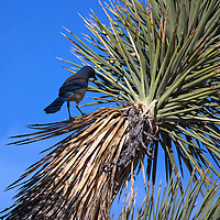 USA, California, Joshua Tree. Western Scrub jay on Joshua Tree.