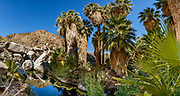 49 Palms Oasis, palm panorama in Joshua Tree National Park, near the City of Twentynine Palms, California, USA. The California fan palm (Washingtonia filifera, in the palm family Arecaceae) is native to the far southwestern United States and Baja California. Today's oasis environment was protected from a drying climate, restricting this cold-tolerant palm to widely separated relict groves. Multiple overlapping photos were stitched to make this panorama.