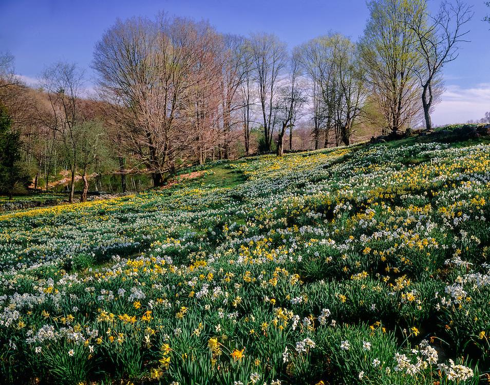 Field of daffodils in spring, distant treeline, Laurel Ridge Foundation, Litchfield, CT