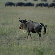 Wildebeest (Connochaetes taurinus) Female giving birth during migration in Serengeti National Park. Tanzania. Africa. February.