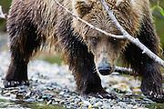Close-up, a coastal brown bear ( Ursus arctos ) looking while bending under a branch as it approaches, front view, Katmai Peninsula, Alaska