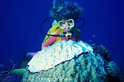 diver examines head of small star coral, <br /> Montastrea annularis, being killed by black band disease, <br /> Phormidium corallyticum ( a cyanobacteria ), <br /> Berry Islands, Bahamas ( Western Atlantic Ocean )