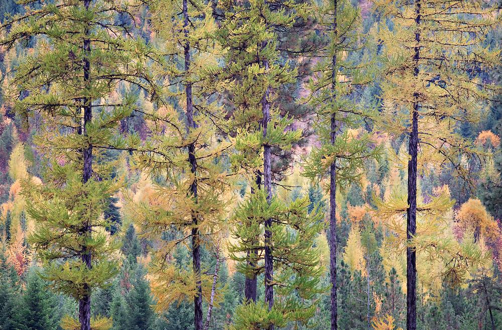 Abstract Portrait of Autumn Tamarak Pines and Autumn Forest, Idaho