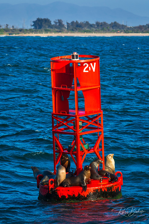 California sea lions on a red harbor buoy, Ventura, California USA