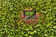 A flowering window box surrounded by fig vine on a wall along Water Street in historic Charleston, SC.