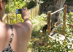 A visitor to the Oakland Zoo makes a photo of Pagi, the new sun bear that was introduced to the media Thursday, June 17, 2010, in Oakland, Calif. (D. Ross Cameron/Staff)