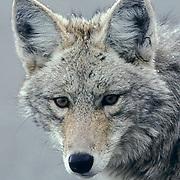 Coyote, (Canus latrans) Portrait in winter. Yellowstone National Park.