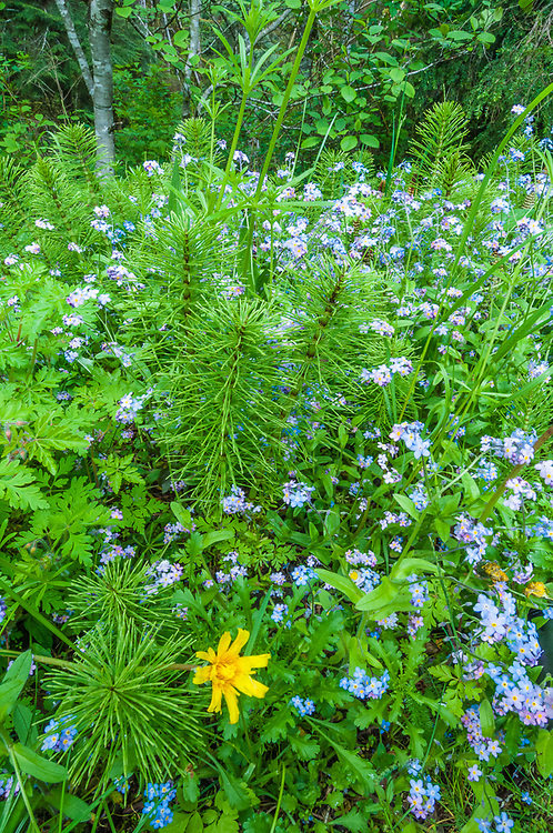 Scenecio, forget-me-knots, and horsetail, overcast light, May, forest understory, Olympic National Park, Washingtom, USA
