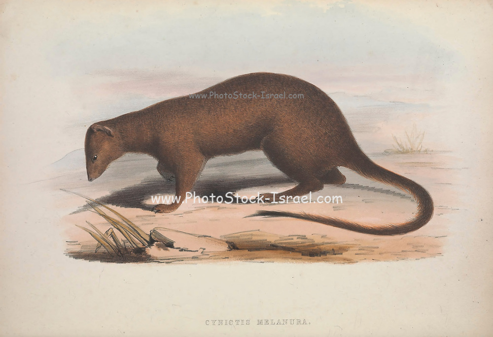 Cynictis melanura From the book Zoologia typica; or, Figures of new and rare animals and birds described in the proceedings, or exhibited in the collections of the Zoological Society of London. By Fraser, Louis. Zoological Society of London. Published by the author in London, March 1847