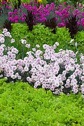 Dianthus 'Gran's Favourite' with Lettuce 'Green Salad Bowl', Dianthus 'Devon Wizard' AGM and Lettuce 'Solix'