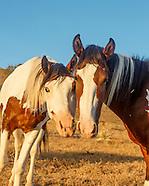 PLACITAS WILD HORSES: DIVERSITY