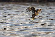 White-tailed Eagle with a great catch. This is a natural catch, and not fish thrown from a boat | Havørn med en flott fangst. Bemerk at dette ar en naturlig fangst, og ikke fisk kastet fra båten.