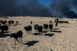 November 23, 2016 - Qayyara, Ninewa Province, IRAQ - A shepherd tends his sheep who were once white. However, after four months of burnt oil smoke their coats have turned black. (Credit Image: © Gabriel Romero via ZUMA Wire)
