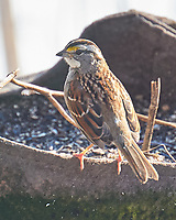 280White-throated Sparrow (Zonotrichia albicollis). Image taken with a Leica CL camera and 90-280 mm lens.