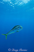dorado, mahi mahi, or dolphin fish, Coryphaena hippurus, large bull ( male ), off Isla Mujeres, near Cancun, Yucatan Peninsula, Mexico ( Caribbean Sea ) (dm)