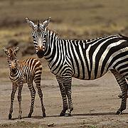 Burchell's Zebra, (Equus burchelli) Portrait of mother and baby. Masai Mara Game Reserve. Kenya. Africa.