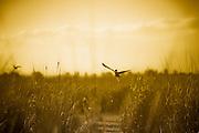 Wild duck flying over Reeds, Fivebough Wetlands, Leeton, Western NSW, Australia