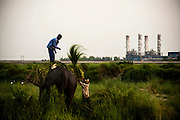 14th May 2014, Yamuna River, New Delhi, India. Handlers load fodder onto the back of an elephant at dusk on an island in the Yamuna River with a Gas Turbine Power Station behind, New Delhi, India on the 14th May 2014<br /> <br /> Elephant handlers (Mahouts) eke out a living in makeshift camps on the banks of the Yamuna River in New Delhi. They survive on a small retainer paid by the elephant owners and by giving rides to passers by. The owners keep all the money from hiring the animals out for religious festivals, events and weddings, they also are involved in the illegal trade of captive elephants. The living conditions and treatment of elephants kept in cities in North India is extremely harsh, the handlers use the banned 'ankush' or bullhook to control the animals through daily beatings, the animals have no proper shelters are forced to walk on burning hot tarmac and stand for hours with their feet chained together. <br /> <br /> PHOTOGRAPH BY AND COPYRIGHT OF SIMON DE TREY-WHITE<br /> + 91 98103 99809<br /> email: simon@simondetreywhite.com photographer in delhi