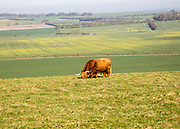 Longhorned Highland bull grazing on scarp slope overlooking clay vale, Hackpen Hill, Wiltshire, England, UK