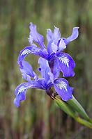 Wild Pacific Coast Iris, or Douglas iris (Iris douglasiana)