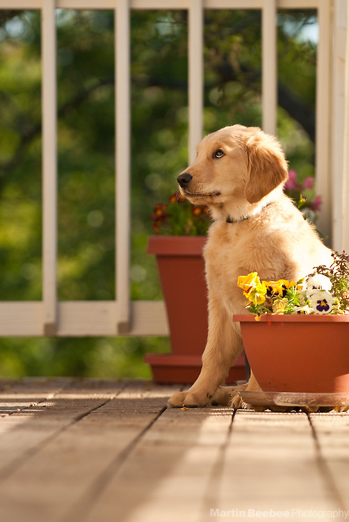 A three-month-old golden retriever puppy sits on a deck, looking like he's in trouble.