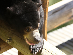 Pagi, the new sun bear that was introduced to the media Thursday, June 17, 2010 at the Oakland Zoo in Oakland, Calif., gets acquainted with the play structure in her enclosure. (D. Ross Cameron/Staff)