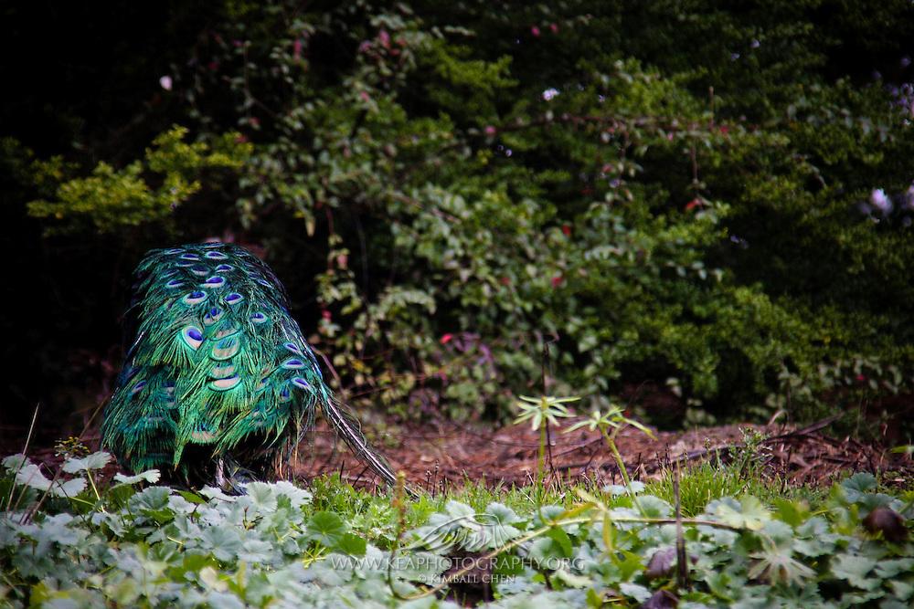 Peacock, New Zealand