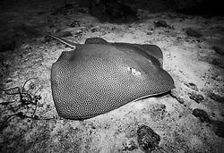 Reticulate Whipray, Himantura uarnak, resting on sandy bottom. Similan Islands Marine National Park, Thailand, Andaman Sea