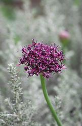 Allium atropurpureum growing through Ozothamnus rosmarinifolius 'Silver Jubilee'