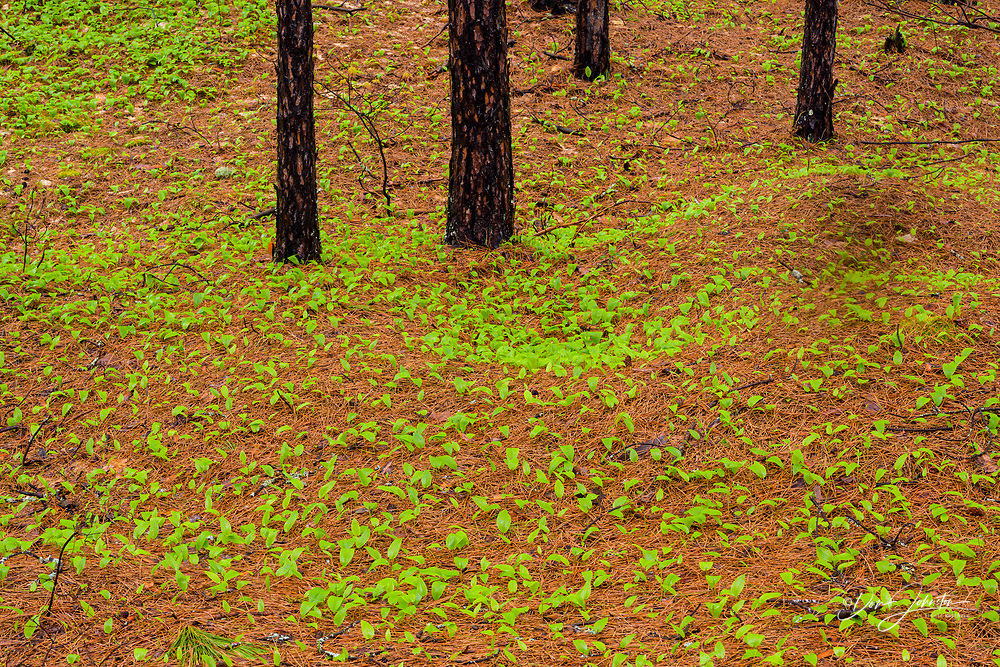 red pine woodland forest floor with pinestraw and Canada mayflower, Greater Sudbury, Ontario, Canada